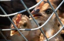Откриха птичи грип в Брезовско