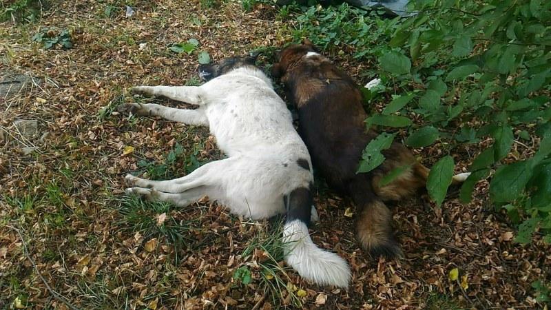 Умъртвени кучета притесниха жителите на Кричим, дали не са отровени?
