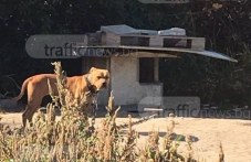 Още 6 питбула от делото за Арената на смъртта в Пловдив са починали в приюта