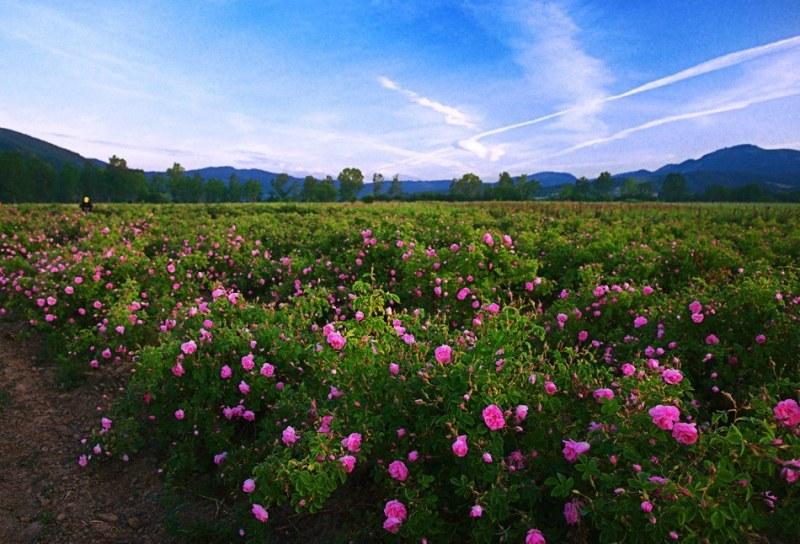 Празниците на розата в Карловско преливат от събития