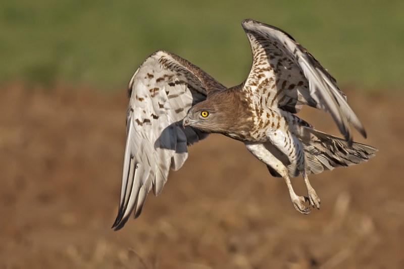 Намериха орел змияр в безпомощно състояние край Кричим