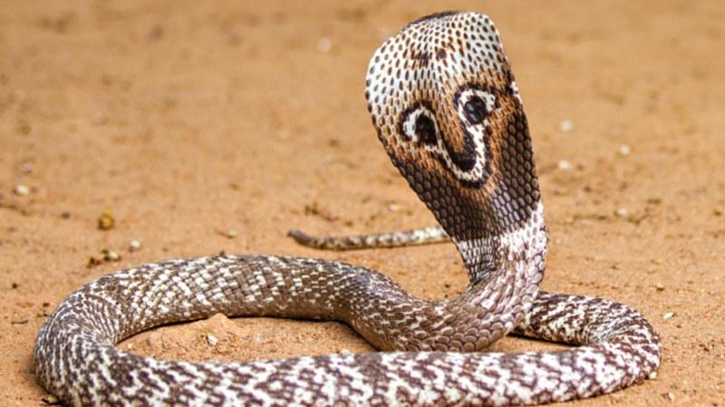 Кралска кобра и други опасни змии показват в Сопот