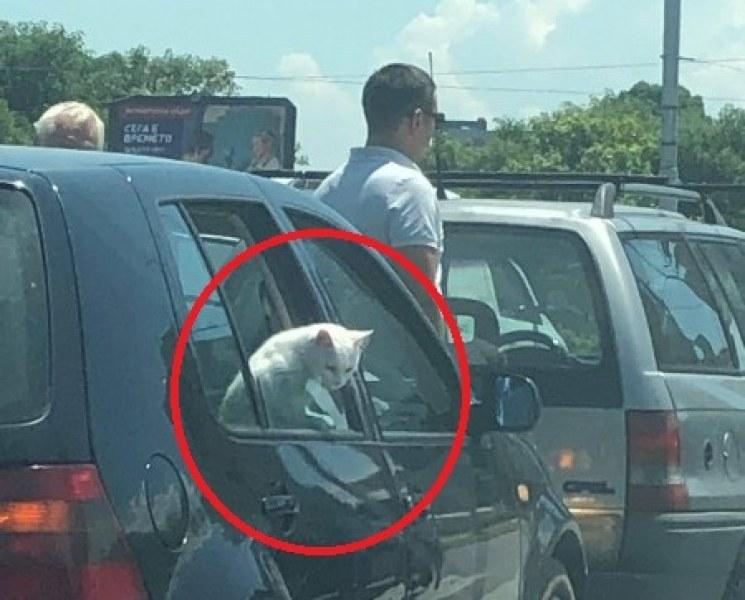 """Катастрофа в Пловдив с """"мяу-мяу"""" ефект, невредима, но леко объркана е пътничка - снежнобяла котка"""