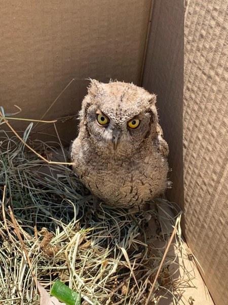 Спасиха малка сова, паднала от гнездото си на Гребната база
