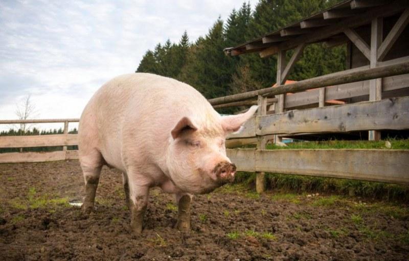 Предпазни мерки срещу африканската чума по свинете вземат в Хисарско и Карловско