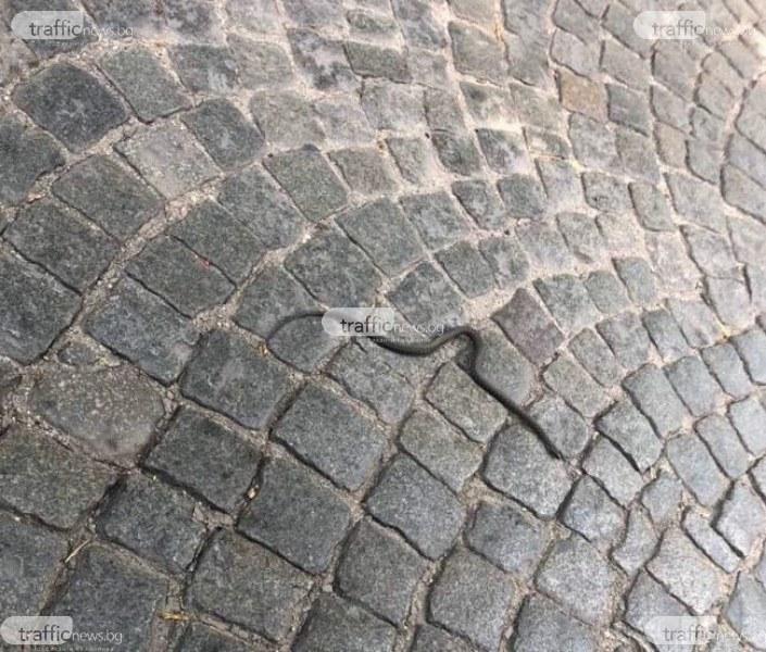 """Змия се качи """"на стоп"""" в колата на жена в центъра на Пловдив, тя пищи и кара"""