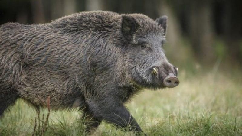 Дивото прасе минало през туриста в Стара планина край Карлово