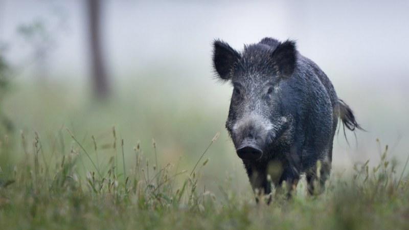 Нападнатият от диво прасе край Карлово турист ще си плати за спасяването, нямал застраховка