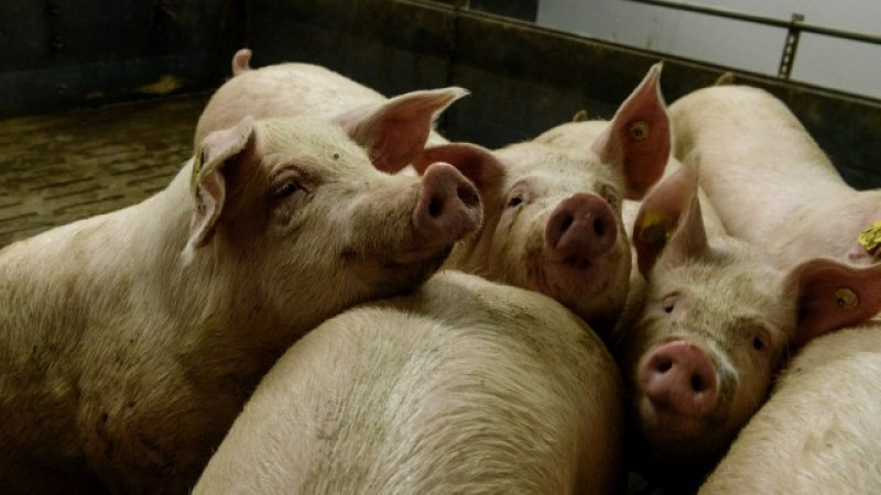 Записват стопаните от Стамболийски, заколили прасетата си в срок, заради полагащите се обезщетения
