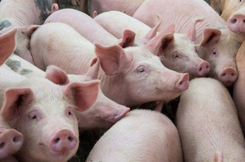 Почти всички прасета в Пловдивско изклани доброволно