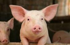 Изплащат обещаните 300 лева за умъртвено прасе след 1 септември