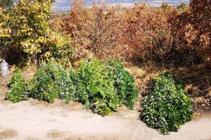 33-годишен отглежда гигантски растения канабис в Карловско, арестуваха го