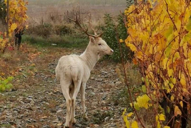 Бял елен се появи в Карловско! Нова любов ще има всеки, който го види