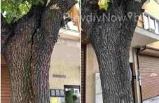 Дърво всеки момент ще падне върху домове и автомобили в Пловдив, хората подават сигнали от 4 години