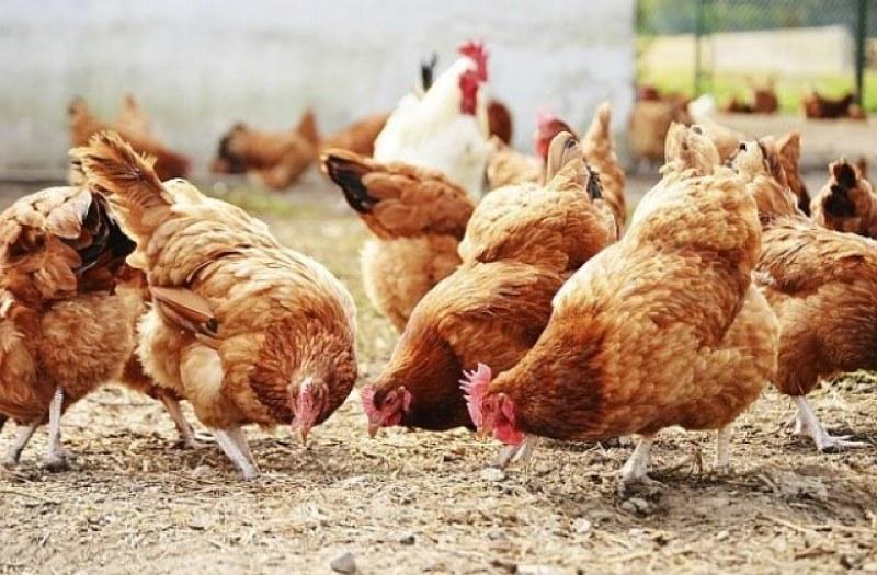 Строги мерки въвеждат в Куклен при отглеждането на птици заради инфлуенцата
