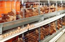 """Огнища с инфлуенца откриха в Брезовско и """"Марица"""", хиляди патици и кокошки са обречени"""