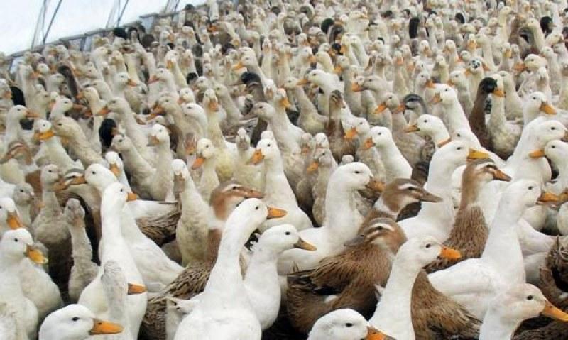 Умъртвяват птиците в трите огнища на инфлуенца в Раковски, Трилистник и Пъдарско