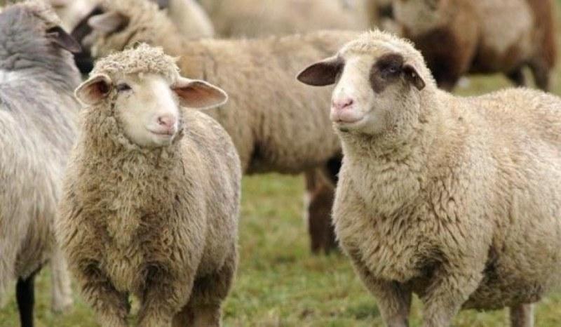 Откраднаха стадо овце край Калояново, замесен е тийнейджър от Раковски