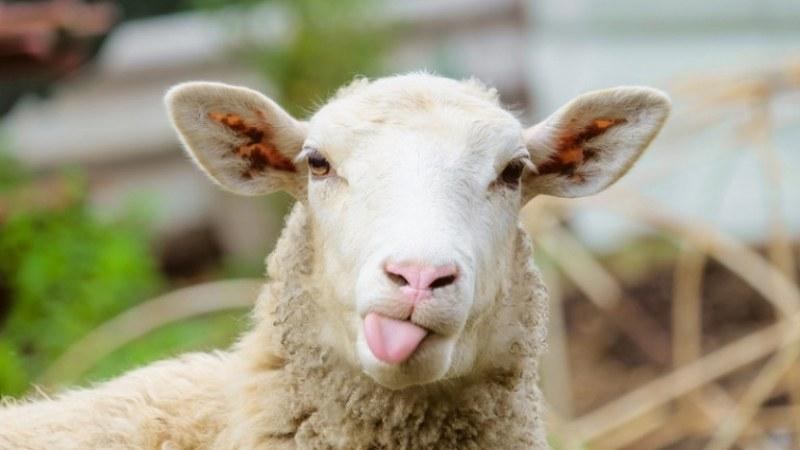 Прокуратурата се зае с пастир от Сопот, овцете му унищожиха декари с рози