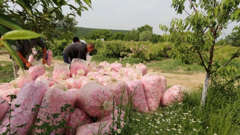 Розопроизводителите в Карлово и Сопот се страхуват от провал на тазгодишната кампания