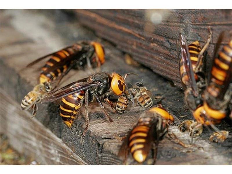 Пръскат срещу стършели и други опасни насекоми в Карлово