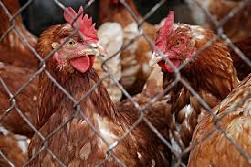 Огнище на птичи грип откриха в Асеновградско