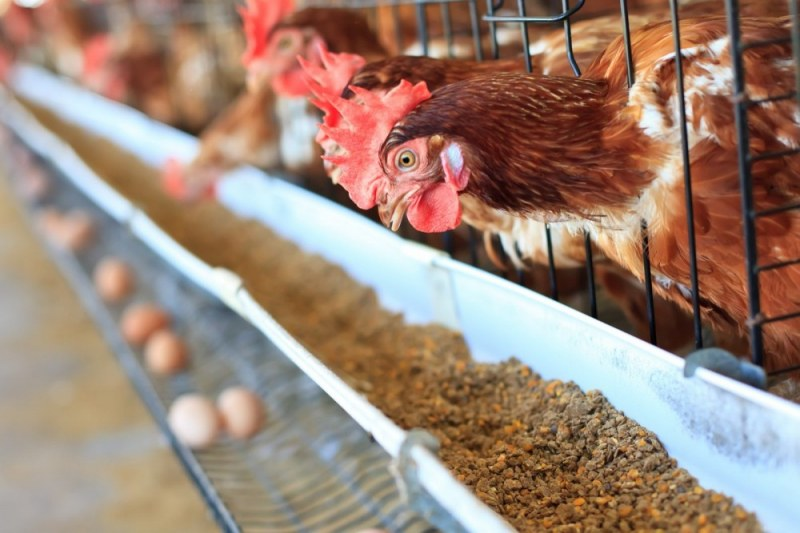 Пловдивска фирма:174 000 здрави кокошки носачки ще бъдат избити