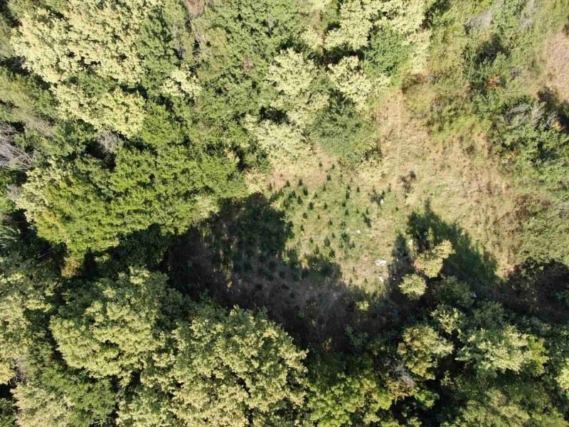 Разкриха нива с канабис между Раковски и Брезово, има арестувани