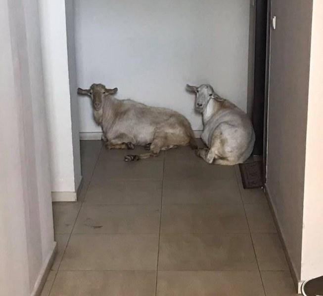 """Кози се """"нанесоха"""" в Оазиса в Смирненски, спят пред входните врати в комплекса ВИДЕО"""
