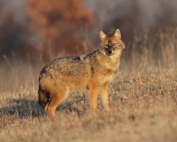Започва ловът на лисици и чакали в Карловско
