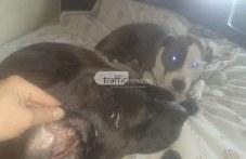 Пловдивчанин и кучетата му нападнати от белгийска овчарка в Кючук Париж