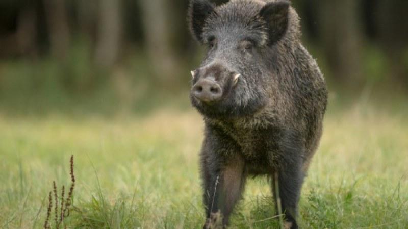 Диви прасета открити мъртви край Хисаря, горските обезпаразитяват района