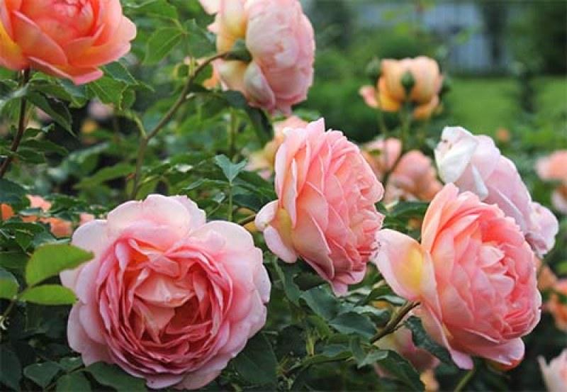 145 рози в Перущица за 145 години от Априлската епопея