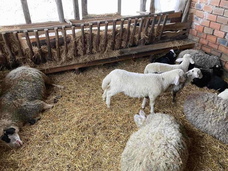 Фермер край Първомай намери овцете си умрели от отровен фураж