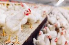 Две огнища на птичи грип в Трилистник, предпазната зона стига до община Раковски
