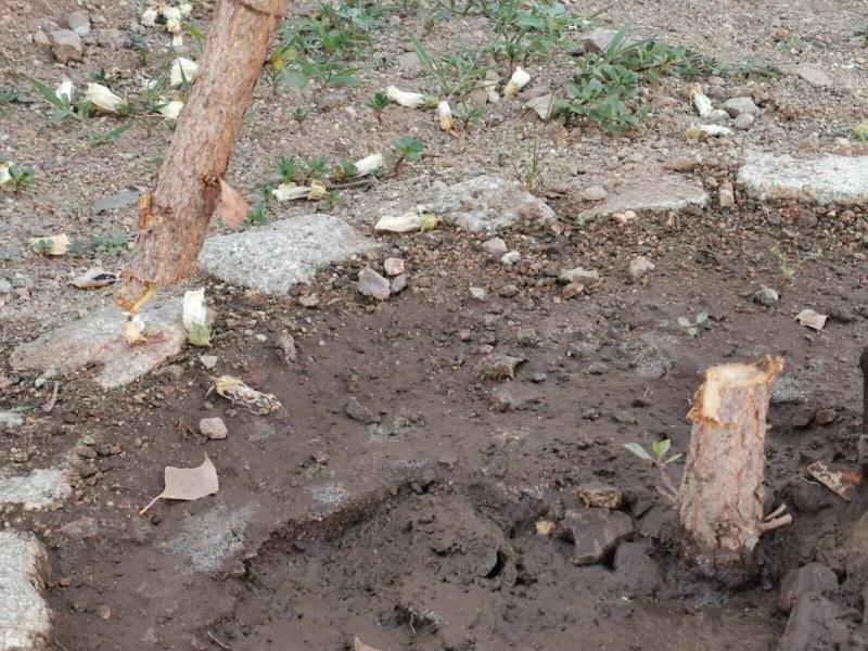 Вандали посегнаха на крехка фиданка в Сопот, кметът публикува гневен пост