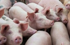 Агенцията по храните: Няма да се умъртвяват всички прасета в 3-км зона край Съединение