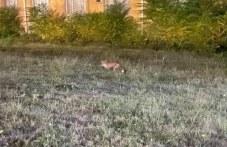 Лисички забелязани край кметството в Тракия